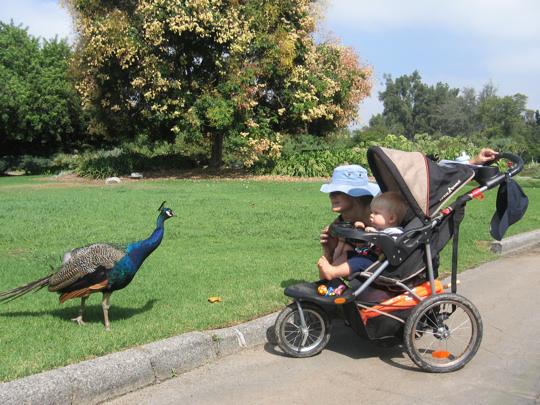 Cocky Peacock