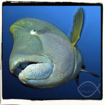 O Wrasse! You huge…