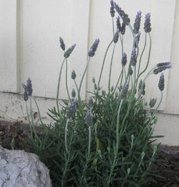 O Lavender!