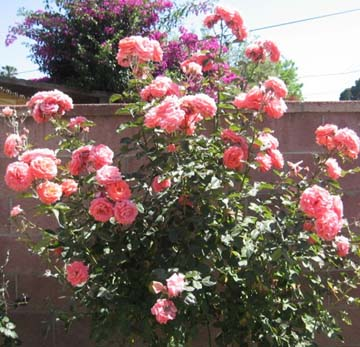 Stopping to smell the May roses gone wild…